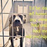 Sad dog in shelter whose owner can't find him due to not having a microchip.